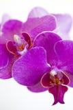 Un'orchidea che fiorisce, fondo bianco Fotografie Stock