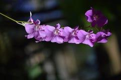 Un'orchidea violacea con fondo molle fotografie stock libere da diritti