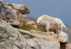 Un Oreamnos dello stambecco di Colorado americanus pasce sulla tundra Fotografia Stock Libera da Diritti
