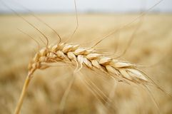 Un orecchio del grano sopra il campo di grano del grano Fotografie Stock Libere da Diritti