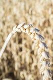 Un orecchio del grano sopra il campo di grano del grano Immagini Stock