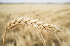 Un orecchio del grano sopra il campo di grano del grano Fotografie Stock
