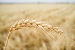 Un orecchio del grano sopra il campo di grano del grano Immagine Stock