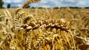 Un orecchio di grano, primo piano contro un fondo dei giacimenti di grano Immagini Stock Libere da Diritti