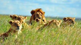Un orgoglio dei leoni nella sosta nazionale di Serengeti Fotografia Stock Libera da Diritti