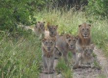 Un orgoglio dei leoni sul movimento Immagine Stock