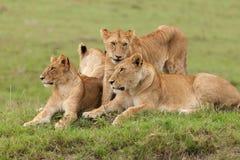 Un orgoglio dei leoni sull'erba Fotografia Stock Libera da Diritti