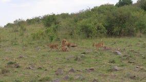 Un orgullo de los leones que descansan y que juegan en la sabana africana metrajes