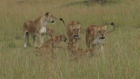 Un orgullo grande de los leones que se mueven en los llanos 1 almacen de video