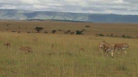 Un orgullo grande de los leones que se mueven en los llanos 2 almacen de metraje de vídeo