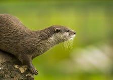 Un orientale piccolo-ha graffiato la lontra/lontra cinerea/asiatico piccolo-graffiata di Aonyx Fotografia Stock Libera da Diritti