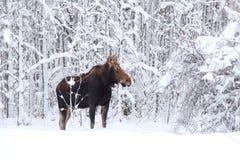 Un orignal dans la forêt Photos libres de droits