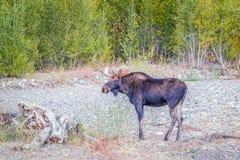 Un orignal de taureau en parc national grand de Teton wyoming LES Etats-Unis photo stock