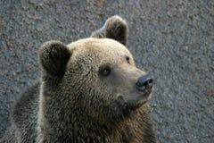Un orso Immagini Stock