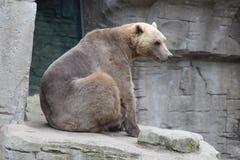 Un orso Fotografie Stock Libere da Diritti