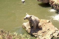 Un orso bruno gioca vicino all'acqua con una foglia in un giorno soleggiato dell'estate, l'animale, l'orso, il marrone, grande, p fotografie stock libere da diritti
