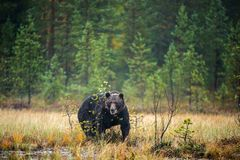 Un orso bruno nella nebbia sulla palude Grande maschio adulto dell'orso bruno Nome scientifico: Arctos di ursus fotografia stock