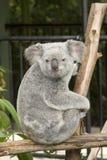 Un orso di koala sveglio al giardino zoologico dell'Australia Fotografie Stock