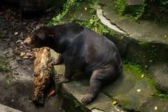 Un orso di miele che fissa e che grida a Jakarta contenuta foto somenthing Indonesia immagine stock