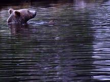 Un orso di nuoto Fotografie Stock