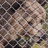 Un orso grigio in una gabbia dello zoo Fotografia Stock Libera da Diritti