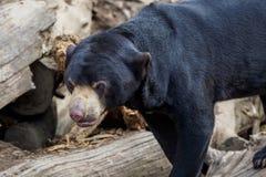 Un orso malese Immagini Stock
