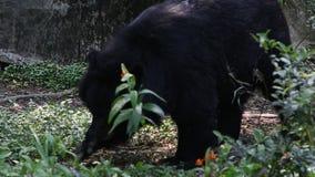 Un orso nero di Formosa, ursus Thibetanus Formosanus, camminante per la foresta video d archivio