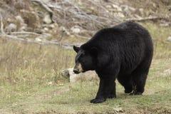 Un orso nero gigante in una valle Fotografia Stock Libera da Diritti
