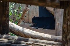 Un orso nero pigro e grande incorniciato fra i tronchi di albero fotografie stock libere da diritti