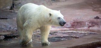 Un orso polare Fotografia Stock
