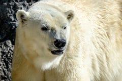 Un orso polare immagini stock