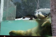 Un orso polare Fotografia Stock Libera da Diritti