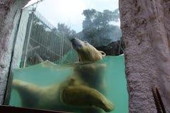 Un orso polare Immagine Stock Libera da Diritti