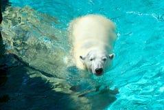 Orso polare 4 Fotografia Stock