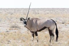 Un oryx à cornes Photographie stock libre de droits