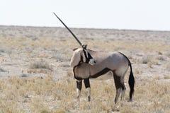 Un oryx à cornes regardant en arrière Images stock