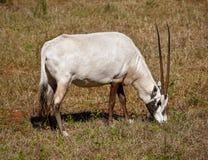 Un oryx Arabe avec les klaxons très longs photos libres de droits
