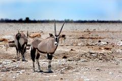 Un Oryx del Gemsbok que se coloca en el Etosha aclara la mirada directamente a continuación de w Fotografía de archivo