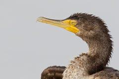Un OS de portrait un auritus double-crêté de Phalacrocorax de cormoran appréciant la chaleur du soleil photographie stock libre de droits