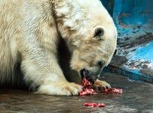 Un oso blanco travieso está comiendo Foto de archivo libre de regalías