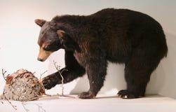 Un oso de Brown montado fotografía de archivo libre de regalías