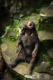 Un oso de miel que grita mientras que se sienta en la roca Jakarta admitida foto Indonesia Imagenes de archivo