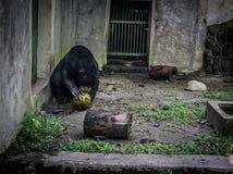 Un oso de miel que intenta abrir el coco para come Jakarta admitida foto Indonesia Imagen de archivo