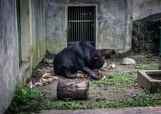 Un oso de miel que intenta abrir el coco para come Jakarta admitida foto Indonesia Fotografía de archivo libre de regalías