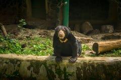 Un oso de miel que mira fijamente mientras que se sienta cerca de un registro Jakarta admitida foto Indonesia Fotos de archivo libres de regalías