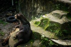 Un oso de miel que se sienta en la roca en la piscina secada Jakarta admitida foto Indonesia Imágenes de archivo libres de regalías