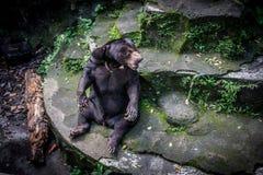 Un oso de miel que se sienta en la roca en la piscina secada Jakarta tomada foto Indonesia Imagen de archivo libre de regalías