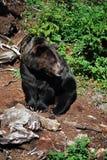 Un oso del grisáceo que examina el paisaje. foto de archivo