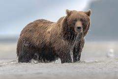 Un oso grizzly enorme que pesca a Salomon durante marea baja, en Katmai fotos de archivo libres de regalías