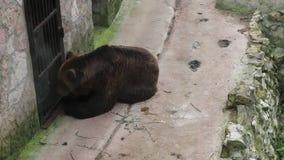 Un oso marrón adulto come la miel de una cuchara Un hombre está alimentando un oso a través de una rejilla almacen de video